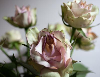Roses in the Morning Light