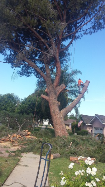 Picture of the process of removing a large pine tree
