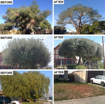 Pictures of before and after tree trimming and tree removal