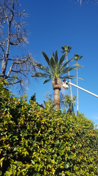 Picture of tree trimmer using a bucket lift to trim palm trees