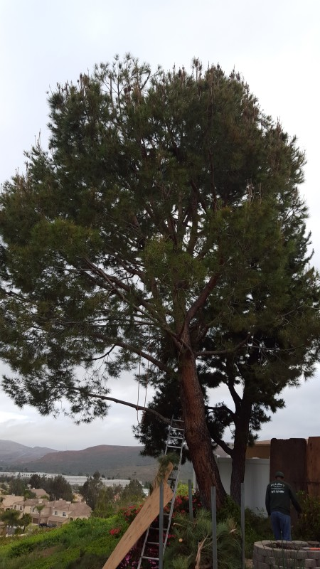 Pine tree trimmed