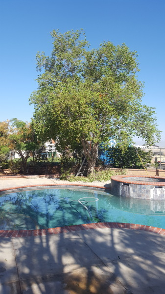 tree trimming by pool