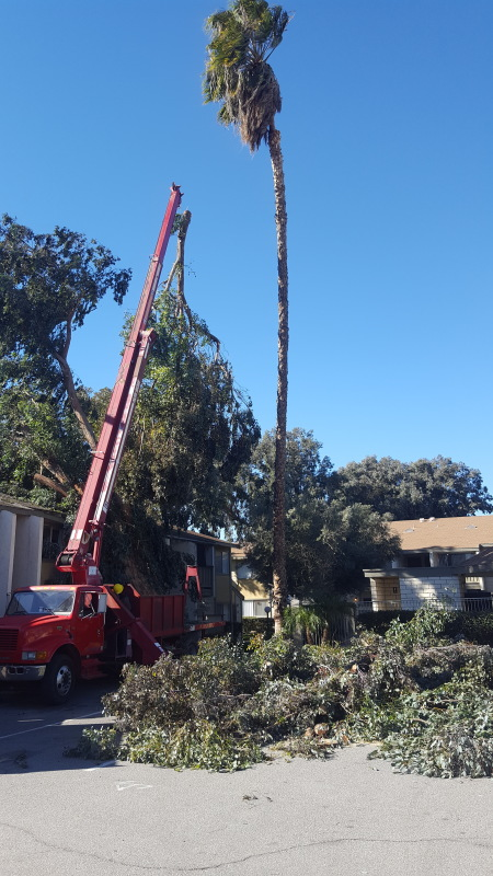 removal of blown over tree