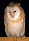 MODs FOUNDATION, MOD, Charity, Owls, Molly, McGee, MOD Meet, wildlife, 501 3c,
