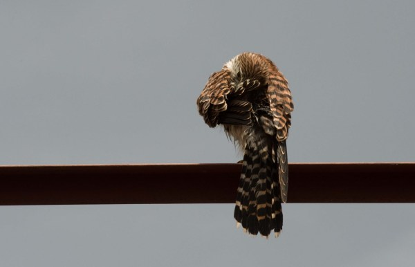 A Kestrel camera shy