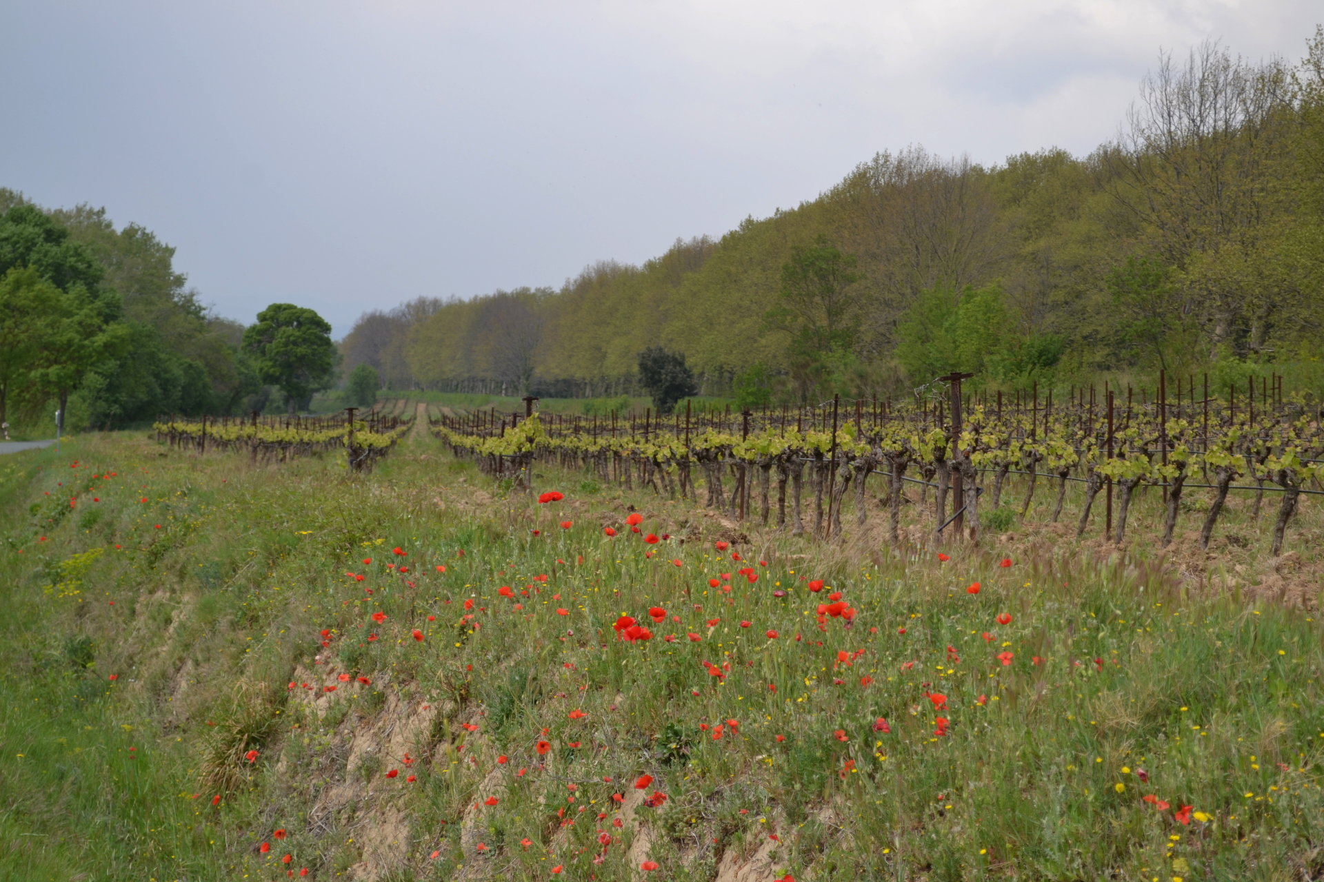 Poppies and Vines