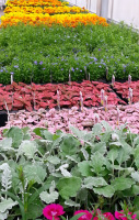 Annuals grown right here for your Spring planting needs