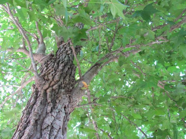 pick a shade tree