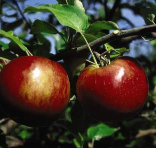 apple bloom times