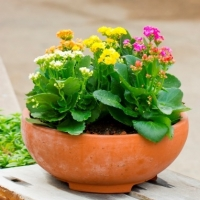 Kalanchoe: More that just a disposable decoration