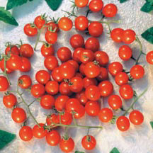 Cherry Tomato-Mexico Midget (photo courtesy of Totally Tomato)
