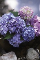 endless summer, hydrangea, bloomstruck, nursery, shrub
