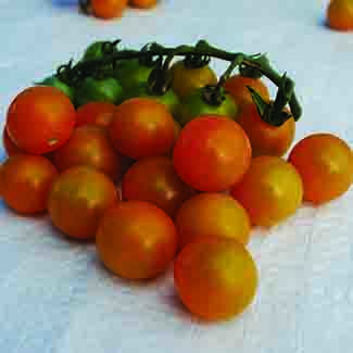 Cherry Tomato-Sungold (photo courtesy of Totally Tomato)