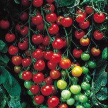 Cherry Super Sweet 100