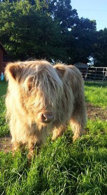Scottish Highland Heifer