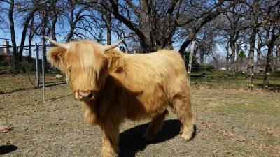 Scottish Highland Heifer