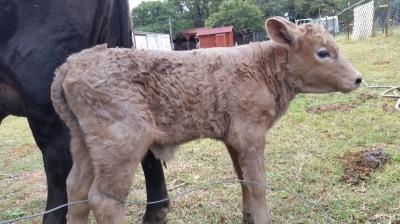 Heifer Calf Born 10/30/16