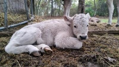 Bull calf Born 11/3/16