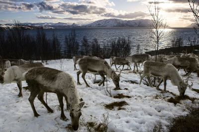 Norway, Alta, Skillefjorden. The reindeer waiting for the  ships to go on islands where they will find more food.