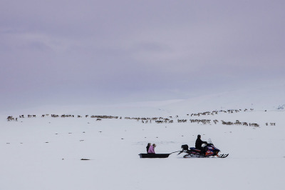 Norway, near Covdamohwki. Due to the scarcity of food farmers must feed the reindeer with hay