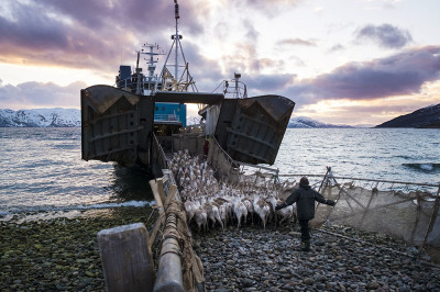 Norway, Alta, Skillefjorden. The reindeer are loaded on ships to go on islands where they will find more food.