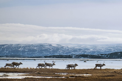 Norway, Lakselv. Due to the scarcity of food some reindeer go up to the shores of the Lakes, where, thanks to more temperate climate, will find more food.