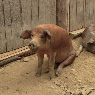 Duroc / Red Wattle