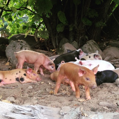 Purchase Live Piglets or Pigs