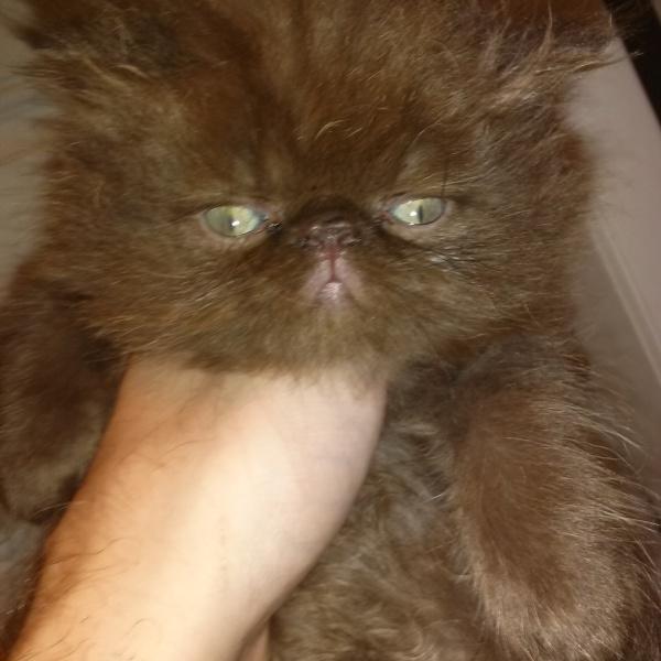Persian kittens CFA Parents