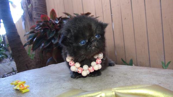 Persian kittens to love