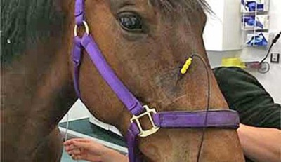 PENS therapy safe and effective for headshaking in horses