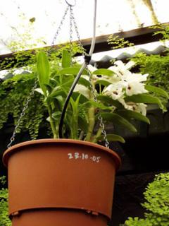 Dendrobium in AutoPot™ Hanging Basket