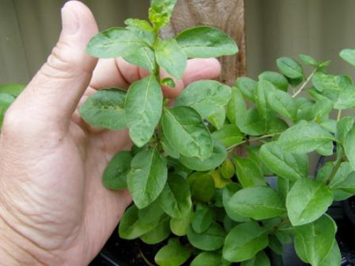 Goji (Lycium barbarum) - grows really well in AutoPot™ Systems.