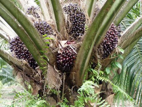 Oil Palm Fertigation