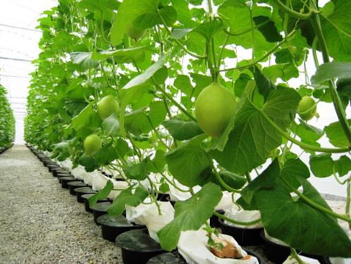 Sweet Melon Farm
