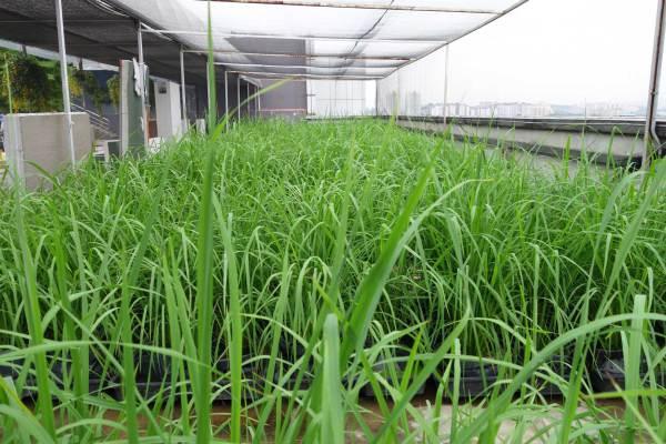 IRIS-AutoPot™ Rice Paddy