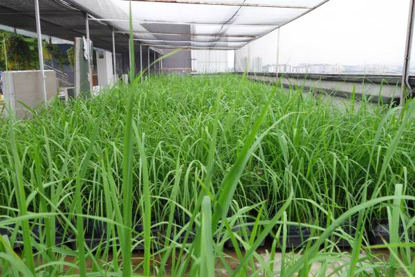 IRIS-AutoPot™ Rice Paddy