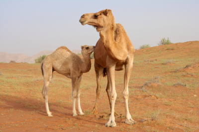 Camel Milk as a Potential Therapy as an Antioxidant in Autism Spectrum Disorder (ASD)