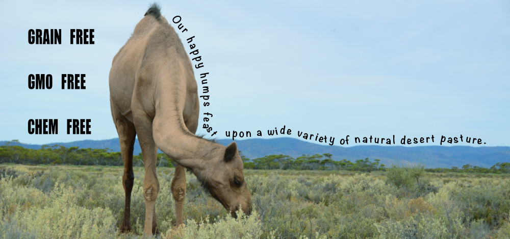 Humpalicious camel farm, pasture fed, healthy camels, better milk
