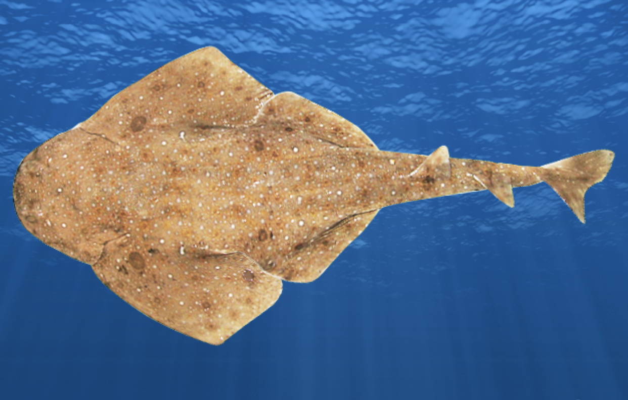 New species Eastern Angelshark new phases Gunthers Wrasse