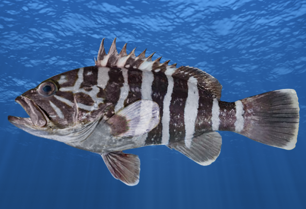 New species Convict Grouper Humpnose Unicornfish Humphead Unicornfish and more