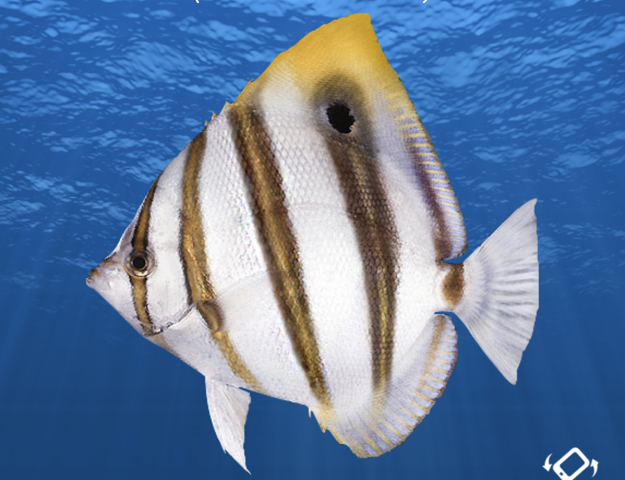 New Species Ocellate Butterflyfish new colourphase Bluestriped Goatfish