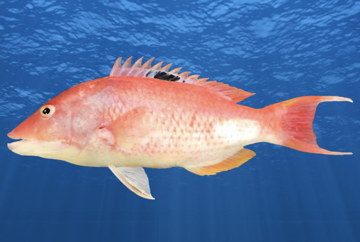 New Species Western Pigfish New Phase Bastard Trumpeter