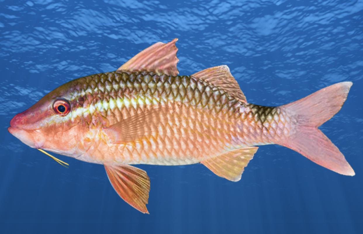 New Species Diamondscale Goatfish new colour phases Bighead Gurnard