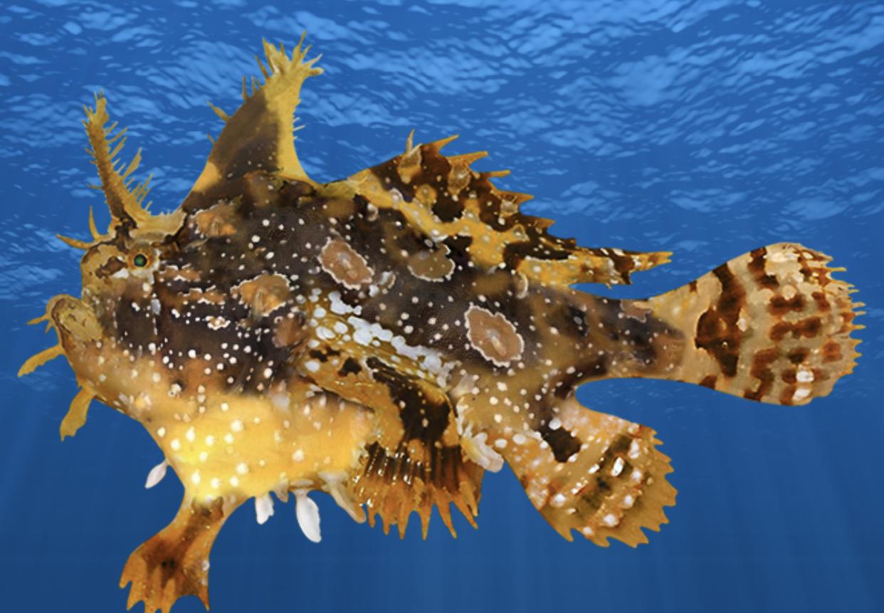 New Species Sargassum Fish new phase Blackspot Sergeant