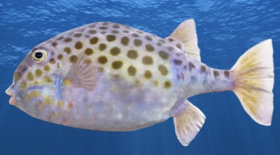 New Fish Added - Eastern Smooth Boxfish