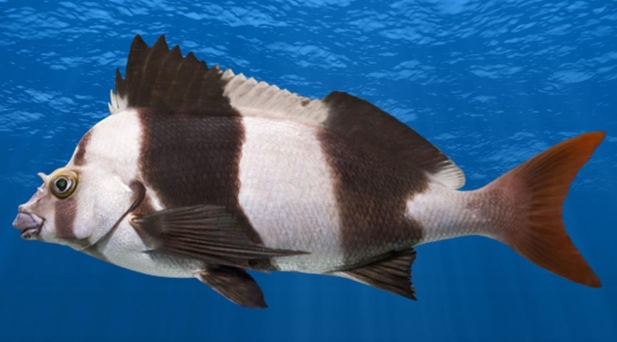 New Fish - Magpie Perch and Estuary Glassfish