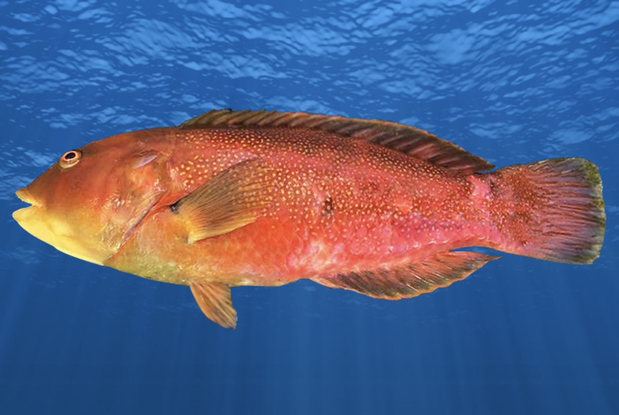 New Species Melbourne Skate new Brownspotted Wrasse images