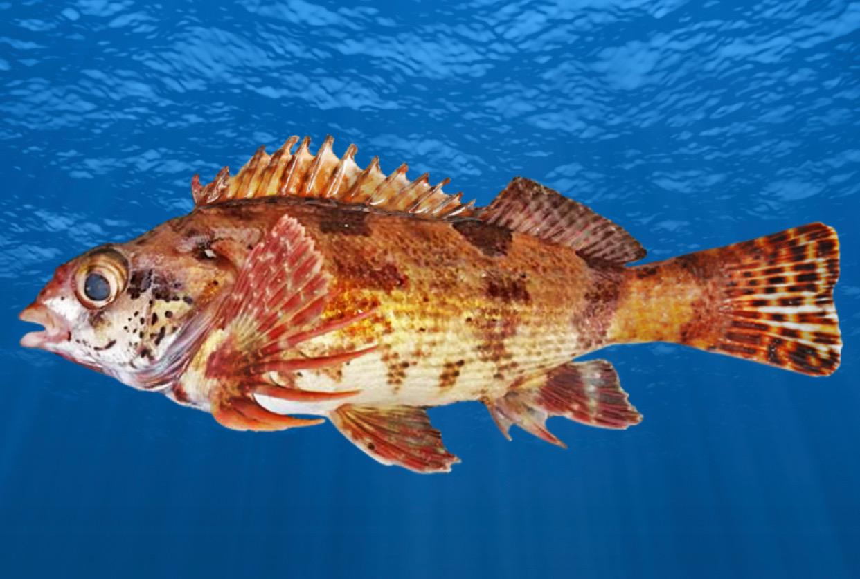 New species Western Kelpfish new phase Blackspot Pigfish