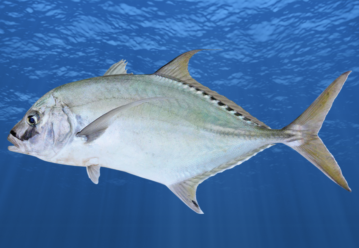 New species Shadow Trevally new colour phases Mangrove Jack